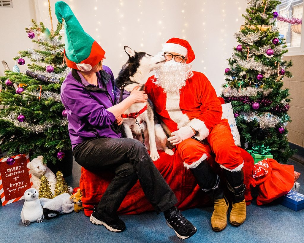 Dog Photography - Husky kisses comedian Alan Carr during Christmas visit to Mayhew