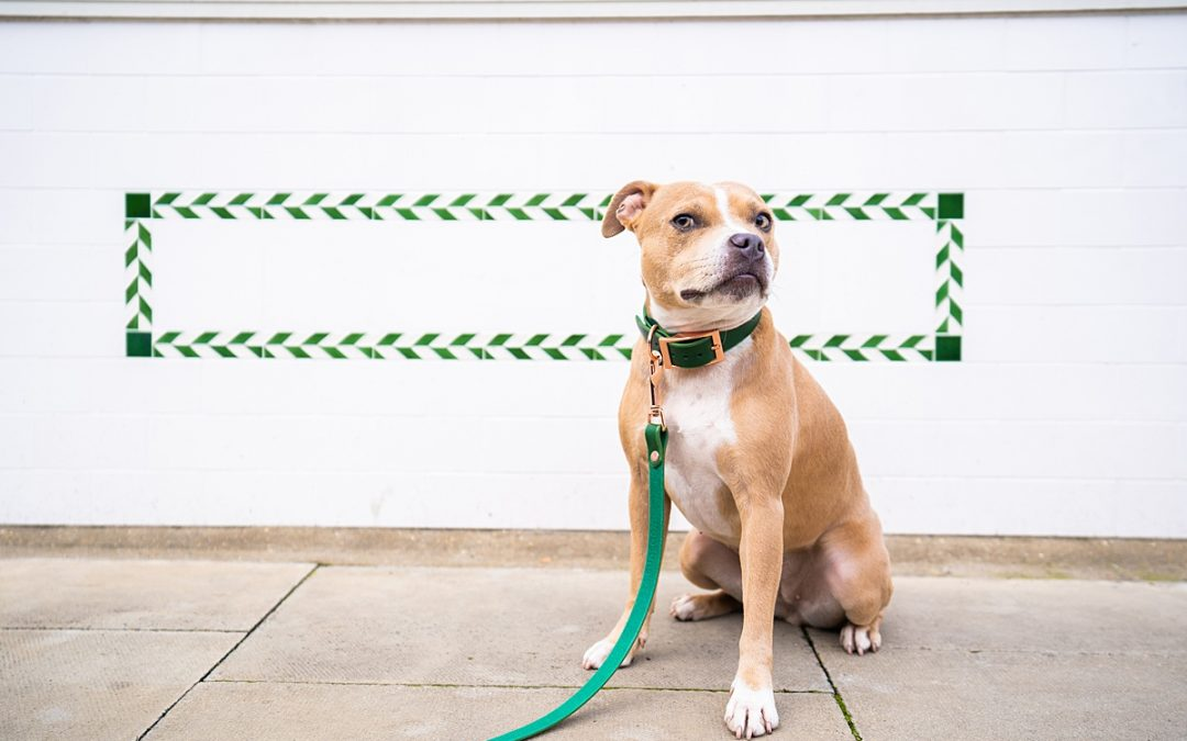 Commercial dog photographer - faun staffordshire bull terrier sat next to a white and green wall