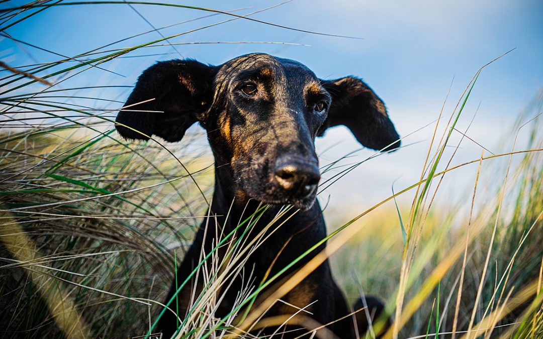 small black doberman with big ears sits in sanddunes for doggy photo shoot