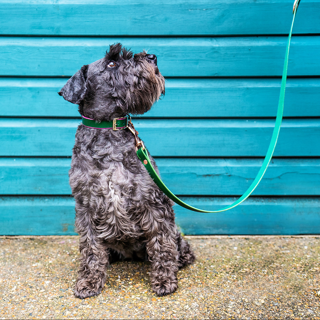 Grey schnauzer wears a matching teal green lead and collar set on commercial dog photo shoot