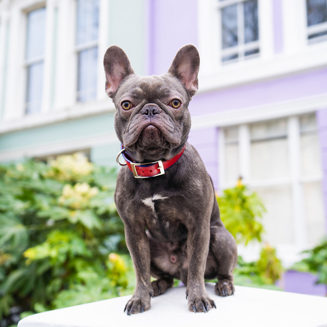 Blue french bull dog wears a luxury dog collar while posing during a commercial dog photography shoot.