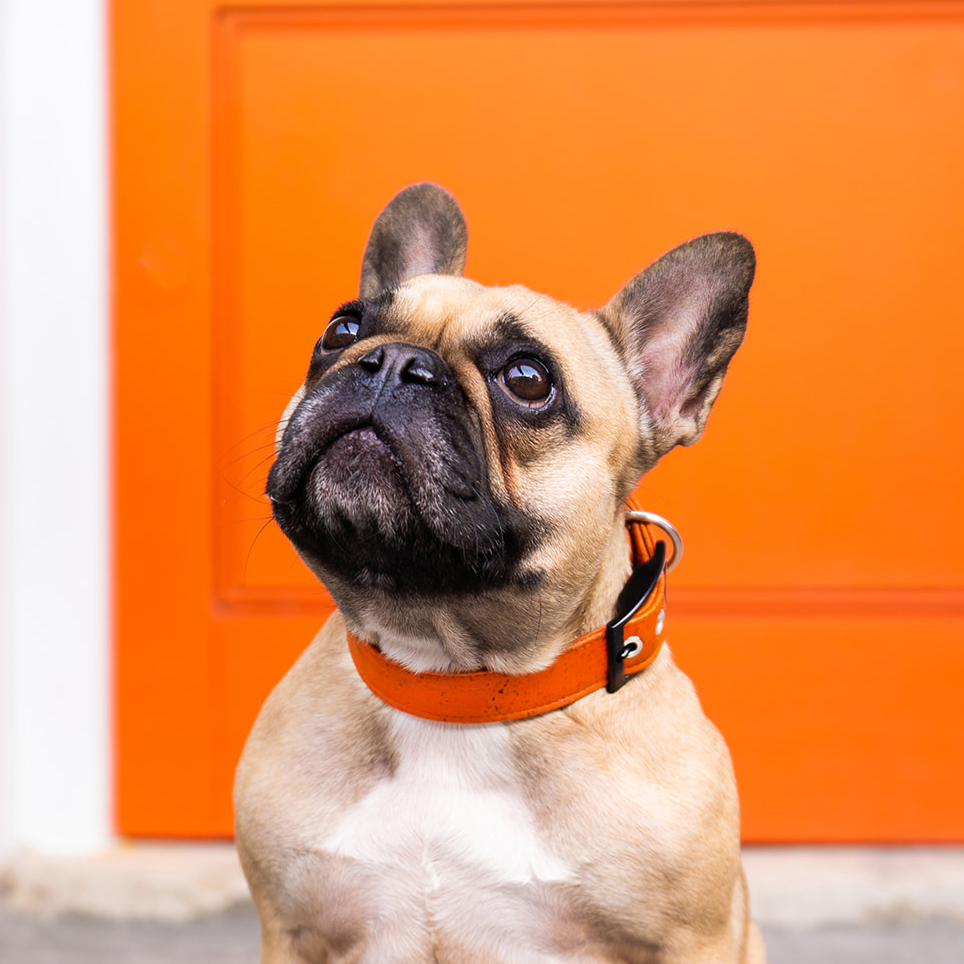 Faun french bulldog wears an orange dog collar while sitting in front of an orange front door on a professional dog photo shoot.
