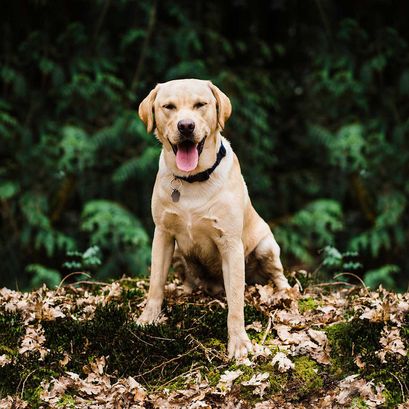 funny yellow lab tongue out during pet photo shoot in Sheffield