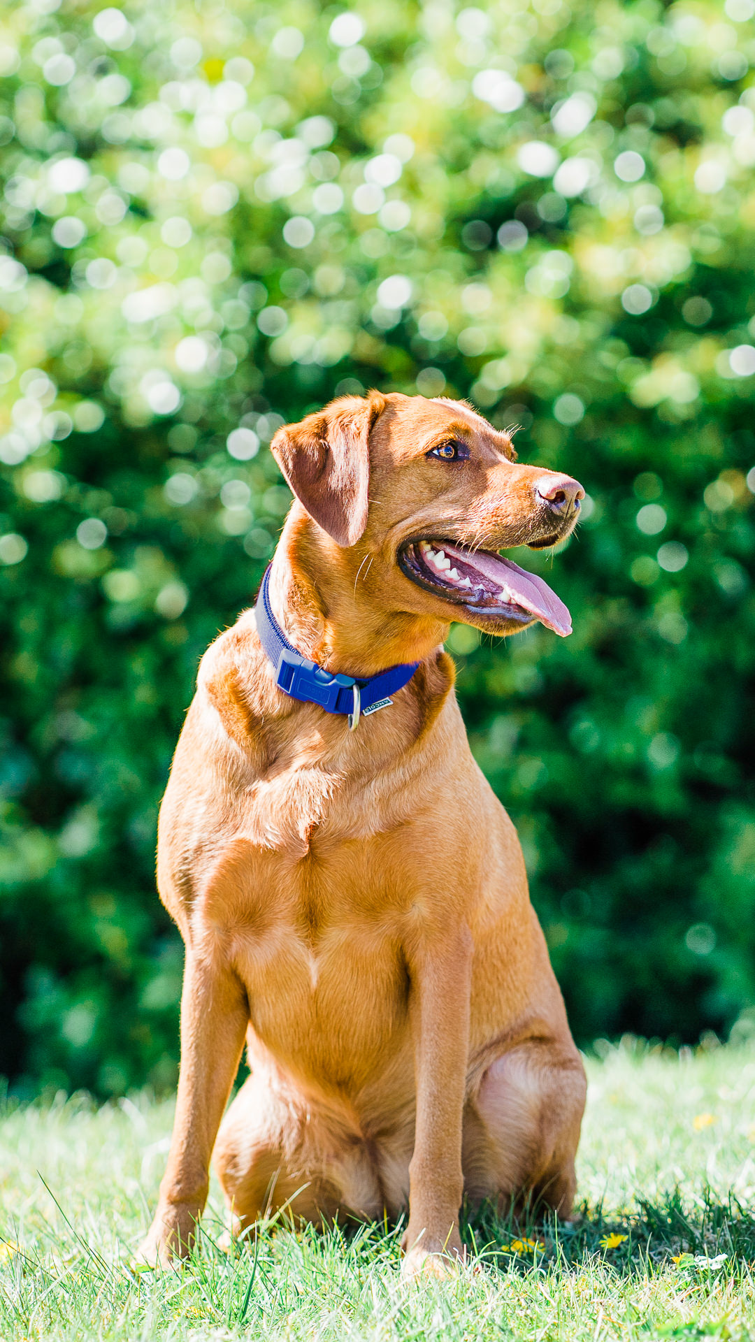 red labrador sits in a sunny green garden on pet photo shoot