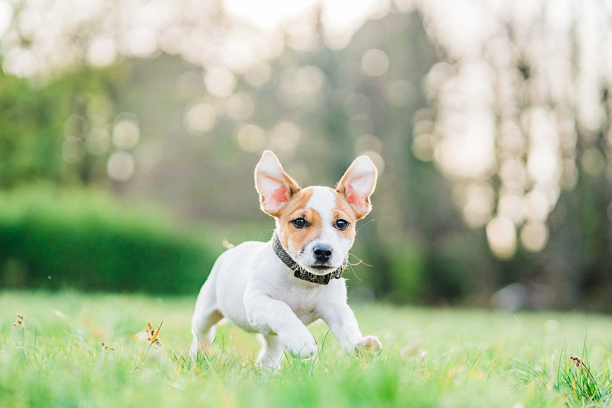 jack russell puppy running in summer meadow ears flapping